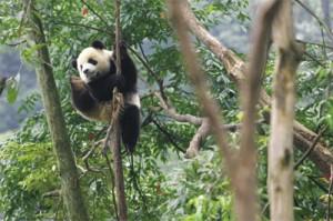 Panda-In-The-Wild