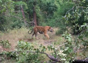 Tiger-In-The-Wild